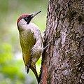 Mrs woodpecker (26614377792).jpg