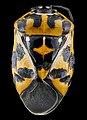 Murgantia histrionica, 1, F, back, Maryland, Beltsville 2013-03-08-14.03.57 ZS PMax (8540749184).jpg