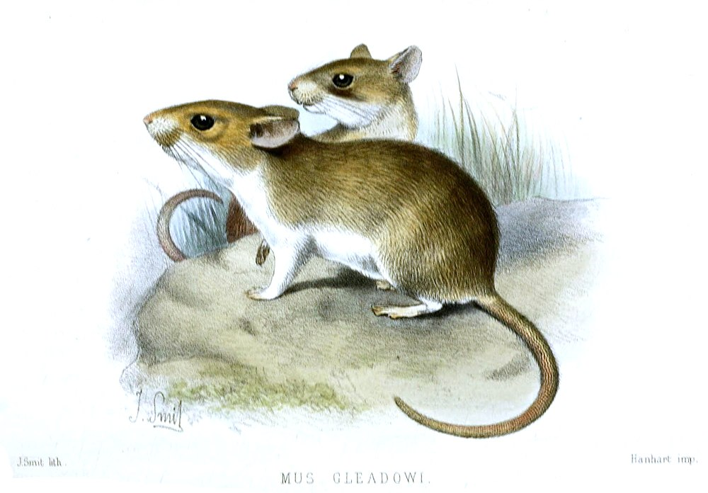 The average litter size of a Sand-colored soft-furred rat is 2