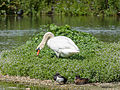 Mute swan and pair of tufted ducks (14377853184).jpg