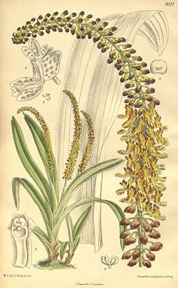 Mycaranthes latifolia (as Eria longispica) - Curtis' 133 (Ser. 4 no. 3) pl. 8171 (1907).jpg