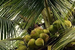 Myna - A common Myna resting on some coconuts, Thanlyin, Myanmar