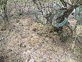 Myrtillocactus geometrizans (5692214885).jpg