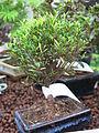 Myrtus bonsai.jpg