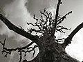 Mysterious Tree - Flickr - Jayel Aheram.jpg