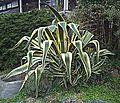N20160310-0052—Agave americana 'Variegata'—Berkeley (25112161793).jpg