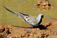 Namaqua dove (Oena capensis) male.jpg