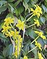 Narcissus jonquilla 1.jpg
