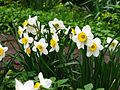 Narcissus large-cupped cv. 04.jpg