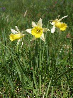 <i>Narcissus</i> in culture