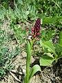 Neotinea ustulata subsp. aestivalis sl2.jpg