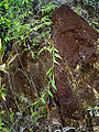 Nepenthes gracilis stem.jpg