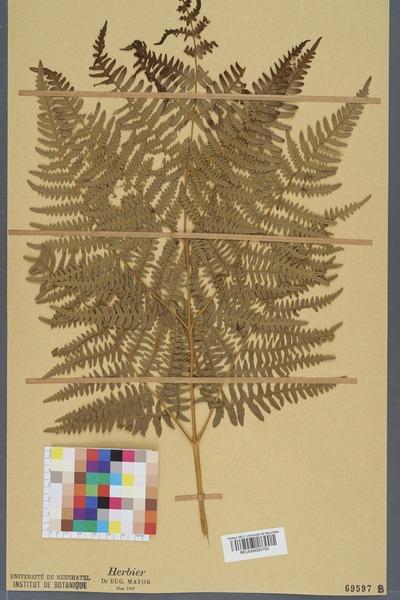 File:Neuchâtel Herbarium - Pteridium aquilinum - NEU000000752.tiff