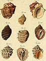 Neues systematisches Conchylien-Cabinet (1829) (14782070144).jpg