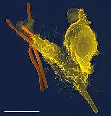 Batteri a forma di bastoncello lungo, uno dei quali è stato parzialmente inghiottito da un globulo bianco a forma di blob più grande.  La forma della cellula è distorta dal batterio non digerito al suo interno.