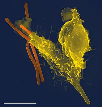 Neutrophil - Scanning electron micrograph of a neutrophil (yellow) phagocytosing anthrax bacilli (orange). Scale bar is 5 μm