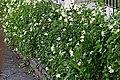 Nevado (Asystasia gangetica) - Flickr - Alejandro Bayer (2).jpg