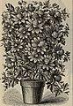 New and rare plants, bulbs, fruits (1900) (20556782725).jpg