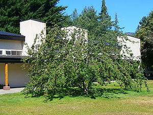 Balseiro Institute - A reputed descendant of Newton's apple tree, found in the Instituto Balseiro library garden.