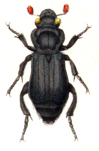 Burying beetle - N. humator