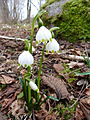 Nivéole de printemps (Vosges).JPG