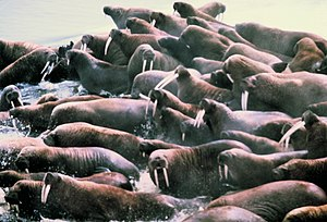 Hauling-out - Group of walruses on sea-ice haul-out.