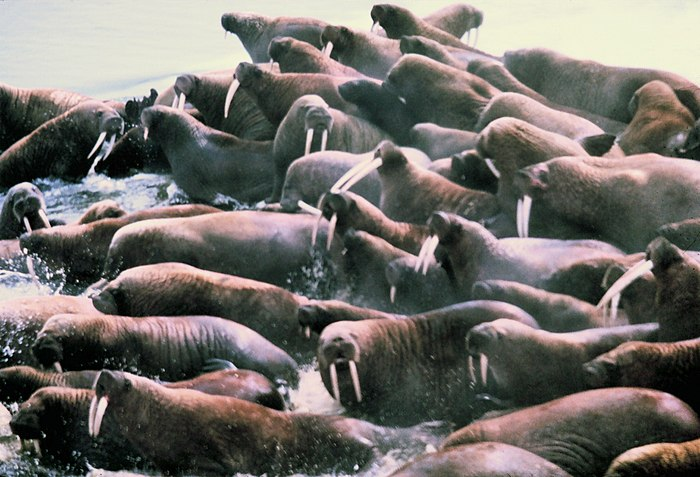 Noaa-walrus9