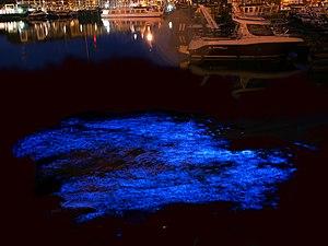 Noctiluca scintillans - Long exposure image of bioluminescence of N. scintillans in the yacht port of Zeebrugge, Belgium