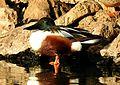 Northern Shoveller Anas clypeata male by Dr. Raju Kasambe DSCN6902 (5).jpg