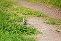 Northern mockingbird (26366096111).jpg