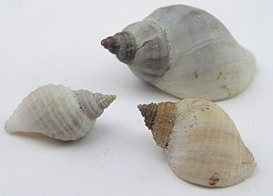 Dog whelk - Nucella lapillus shells