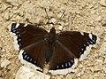 Nymphalis antiopa (9240184637).jpg