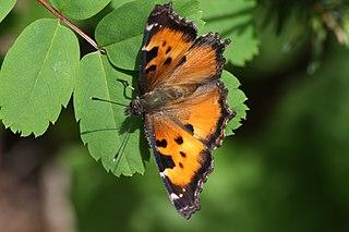 California tortoiseshell species of butterfly