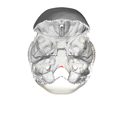 Occipital bone Basion02.png
