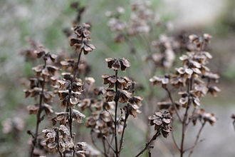 Basil - Desiccated basil showing seed dispersal
