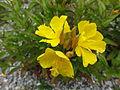 Oenothera fructicosa subsp glauca 2.JPG