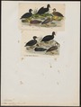 Oidemia nigra - 1700-1880 - Print - Iconographia Zoologica - Special Collections University of Amsterdam - UBA01 IZ17700137.tif