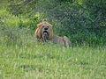 Old Lion (Panthera leo) (12884309874).jpg