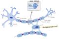 OligodendrocyteNS.png