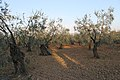 Olive Groves in Puglia Countryside - panoramio (4).jpg