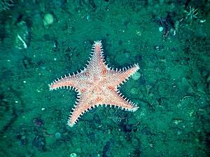 Hippasteria phrygiana - Image: Olympic Coast National Marine Sanctuary 2010 Hippasteria spinosa