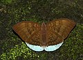 Open wing position of Male Tanaecia julii Lesson, 1837 – Common Earl 2.jpg
