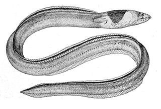 Dark-shouldered snake eel species of fish