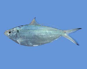 Opisthonema - Opisthonema oglinum (Atlantic thread herring)