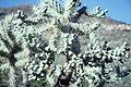 Opuntia fulgida jumping cholla WPC.jpg