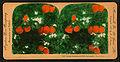 Orange Blossoms and Fruit, Los Angeles, Cal., U.S.A, by Singley, B. L. (Benjamin Lloyd).jpg
