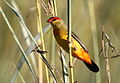 Orange breasted waxbill, Amandava subflava, at Suikerbosrand Nature Reserve, Gauteng, South Africa (25885739986).jpg