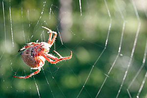 Orb weaver spider day web