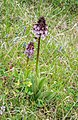 Orchis purpurea in Aveyron (1).jpg