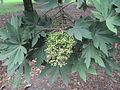 Oreopanax floribundum.JPG